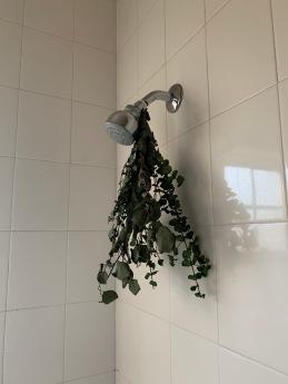 eucalyptus shower head